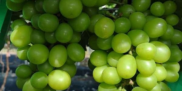 朗屏士多啤梨葡萄園
